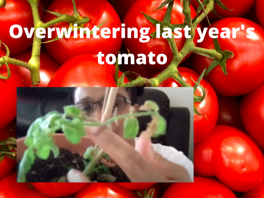 GROWING LAST YEAR TOMATO